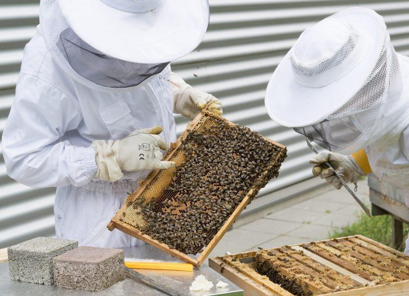 Deux apiculteurs qui récoltent le miel dans les rruches