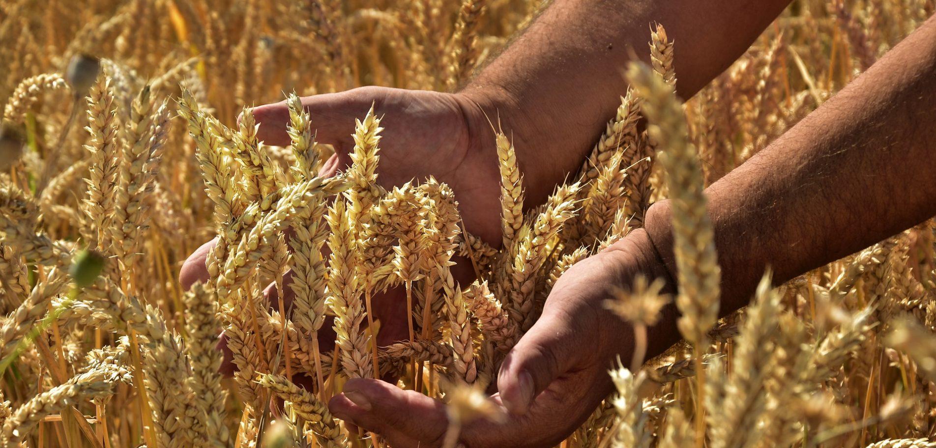 deux mains qui tiennent des épis de blé