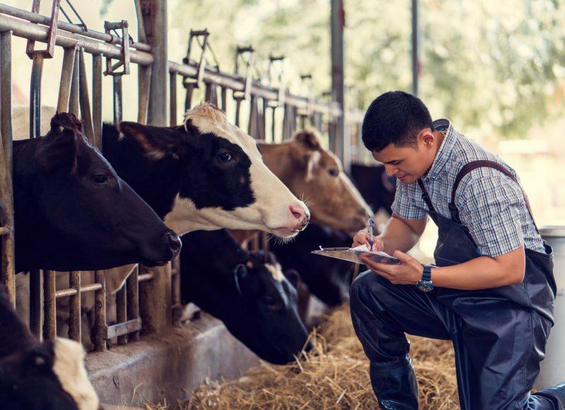 Un coopérateur éleveur qui s'occupe de ses vaches